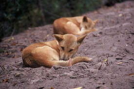 Wildlife Dingoes